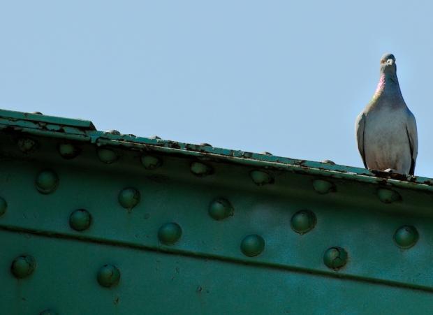pigeon-on-a-bridge[1]